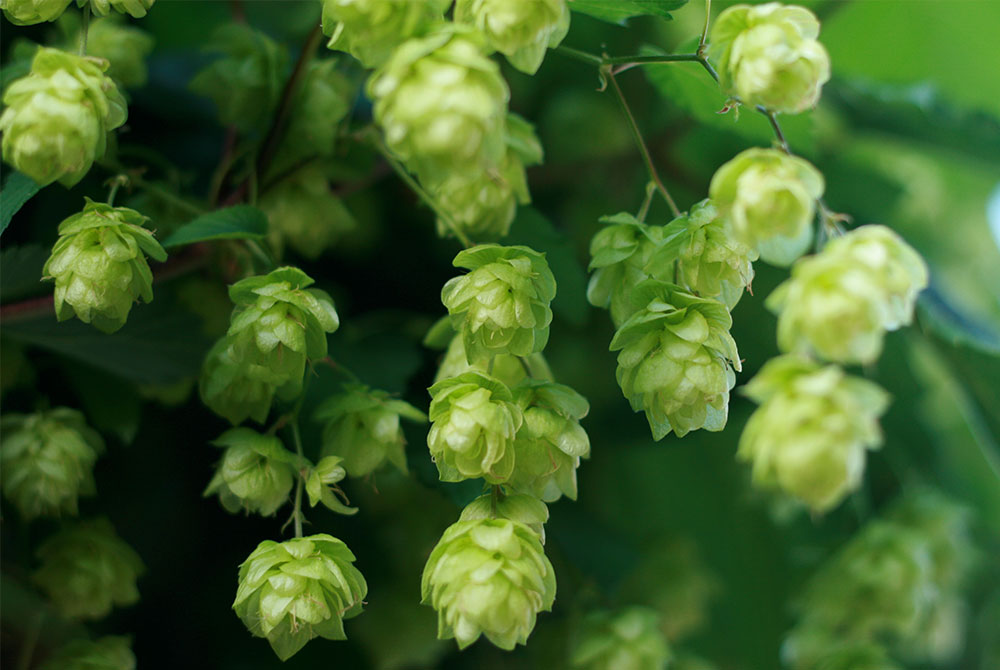 What Are Hops?